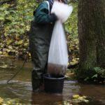 Wypuszczanie wyhodowanych raków do cieku wodnego na terenie Kozienickiego Parku Krajobrazowego