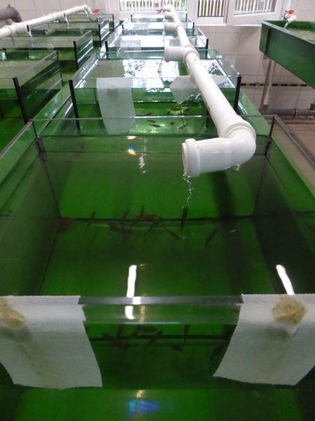 Podchów strzebli błotnej w akwariach w osłonie płaszcza wodnego basenów przepływowych (1)