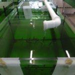 11_Podchów strzebli błotnej w akwariach w osłonie płaszcza wodnego basenów przepływowych (1)